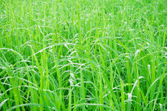 Green fields with morning dew on the grass. Green fields with morning dew on the grass Stock Images