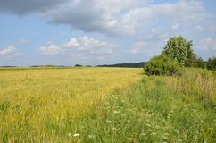 Green fields od wheat and grass with blue sky Royalty Free Stock Photos