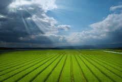 Green fields after raining royalty free stock photo