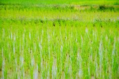 Green fields. Royalty Free Stock Image