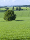 Green fields and tree Stock Image