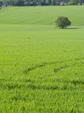 Green fields and tree Royalty Free Stock Photography