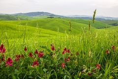 Green fields in Tuscany royalty free stock image