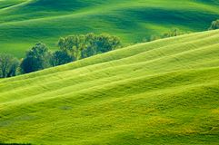 Green fields of wheat Royalty Free Stock Image