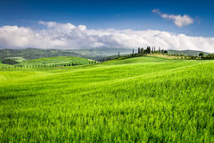 Green fields of wheat in the countryside, Tuscany Stock Photos