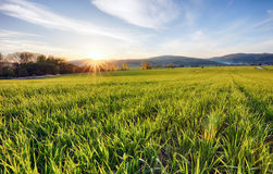 Green fields of young wheat on a spring Stock Images