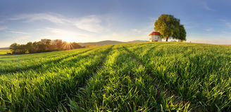 Green fields of young wheat on a spring Royalty Free Stock Photography