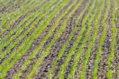 Green fields with young wheat sprouts at sunrise green wheat, spring agricultural sunrise royalty free stock photos