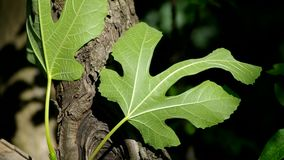 Green fig leaf. Close-up of a fig leaf, a symbol of the garment of Adam and Eve stock video footage