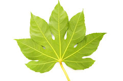 Green fig leaf isolated Stock Images