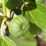 Green fig with leaf Royalty Free Stock Photo