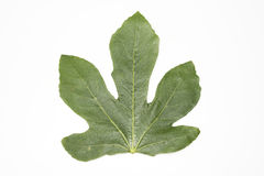 Green fig leaf on a white background Royalty Free Stock Photos