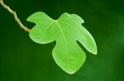 Green fig leave. Close-up photo of a green fig leave on a small branch against a bright green background stock photos