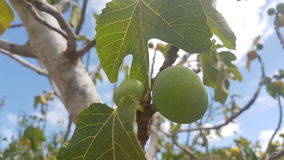 Green fig. On the tree Stock Images