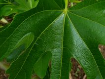 Green fig tree leaf closeup with waxy shiny finish and texture. Waxy large lush green fig tree leaf detail with strong veins of the leaf and blurry background royalty free stock photo