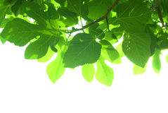 Green fig-tree leaves with branch Stock Images