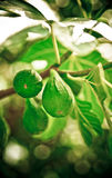 Green Figs Royalty Free Stock Photography