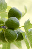 Green figs Royalty Free Stock Images