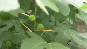 Green Figs on the branch of a fig tree. water drops. tree after the rain. 4k stock video footage