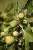 Figs on tree stock photography