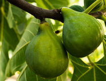 Green figs fruit on tree Stock Images