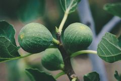Green Figs Growing on a Fig Tree. Close-up of Green Figs Growing on a Fig Tree Royalty Free Stock Photo