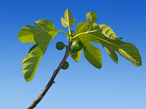 Green figs growing on the tree. Early spring. Royalty Free Stock Photos
