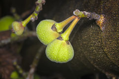 Green Figs Growing on a Tree Stock Photos