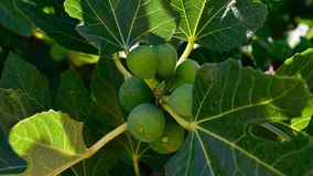 Green Figs Stock Image