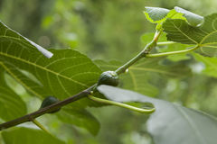 Green figs ripening on a tree Stock Images