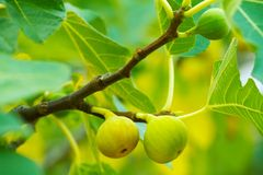 Green figs on the tree Stock Images
