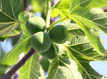 Green figs on tree Royalty Free Stock Photography