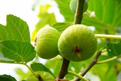 Green figs on the tree. Royalty Free Stock Image