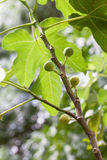 Green figs tree Royalty Free Stock Photography