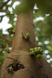 Green figs on the tree Royalty Free Stock Photo