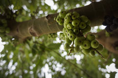 Green figs on the tree Stock Photos