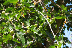 Green figs on the tree Royalty Free Stock Photos
