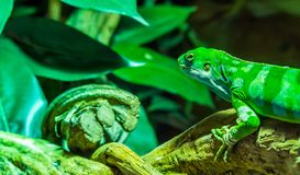 Green Fiji banded iguana climbing on a tree branch with its head in closeup, tropical and endangered lizard from the Fijian royalty free stock photo