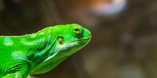 Green Fiji banded iguana face isolated on a blurry background, Endangered tropical lizard from the Fijian Islands royalty free stock photo