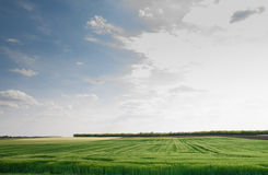 Green filed crops Stock Photography
