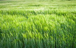 Green filed crops Royalty Free Stock Image