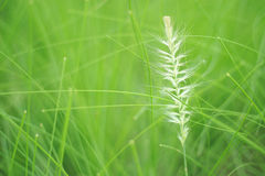 Green filed and grass flower Royalty Free Stock Image