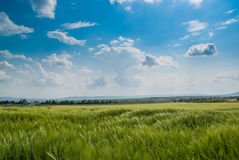 Green Filed under the Blue Sky. Green wheat filed under the blue sky stock photography