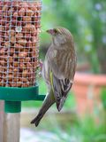 Green Finch. Feeding Royalty Free Stock Photo