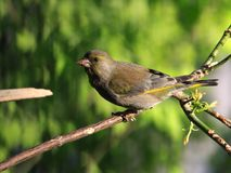 Green-finch Stock Photography