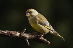Green-finch. On a branch Stock Images