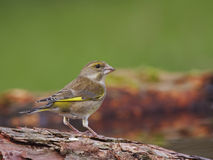 Green finch - Carduelis chloris. Green finch on a twig Royalty Free Stock Image