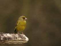 Green finch - Carduelis chloris. Green finch on a twig Stock Photos