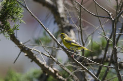 Green finch (carduelis chloris) Stock Images