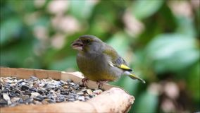 Green finch carduelis chloris stock footage